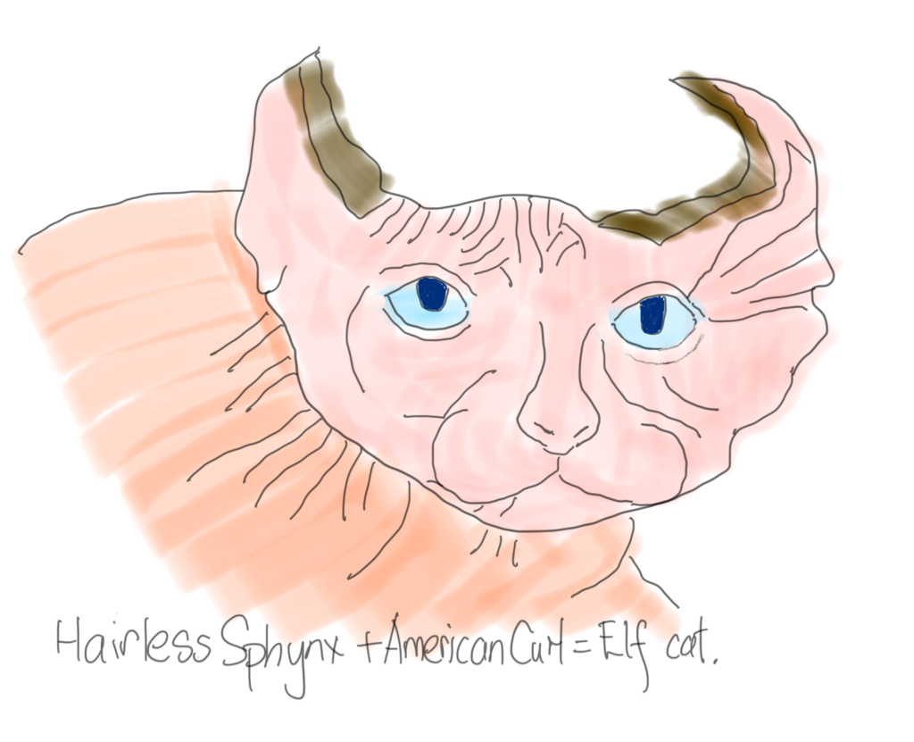 Elf cat with blue eyes.